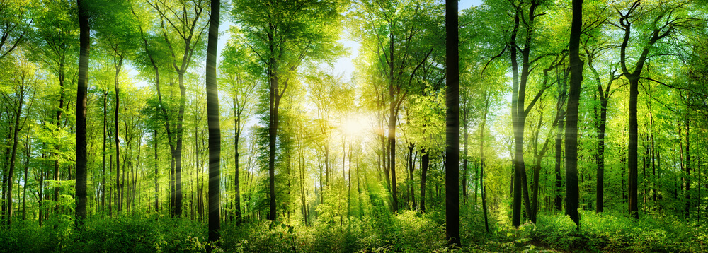Forest panorama with rays of sunlight